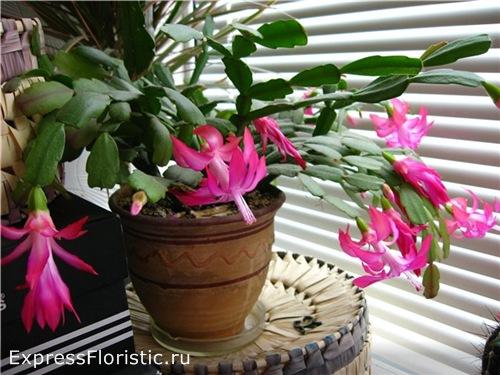 Происхождение Декабриста цветок