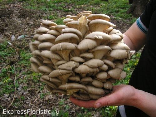 Разведение грибов «вешенка»