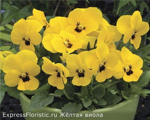 Желтая виола