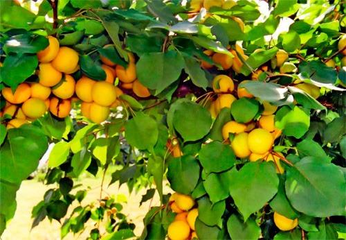 Сорта абрикоса для Подмосковья
