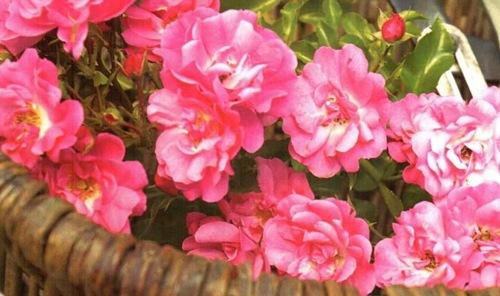 Календарь работ в саду роз