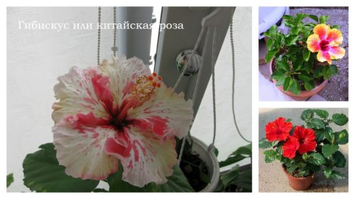 гибискус или китайская роза