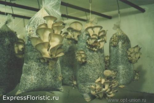 грибные пакеты подвешивают