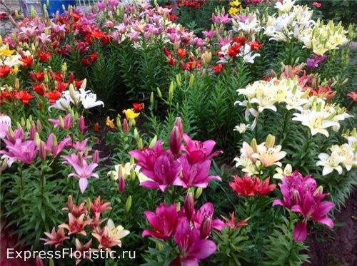 прекрасное цветение лилии