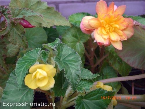 влияние домашних цветов бегония