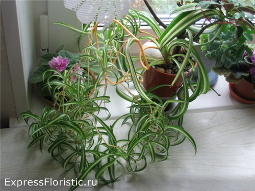 влияние домашних цветов хлорофитум
