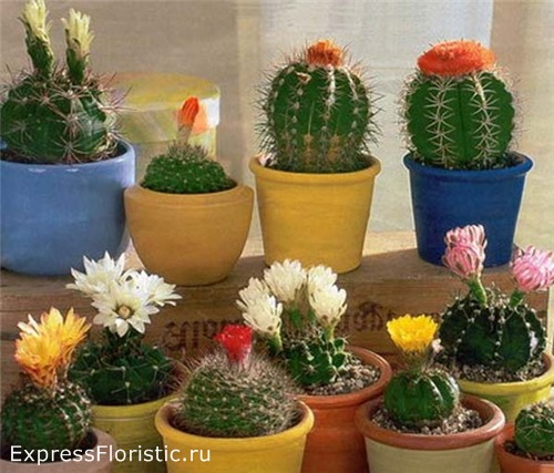 влияние домашних цветов кактус
