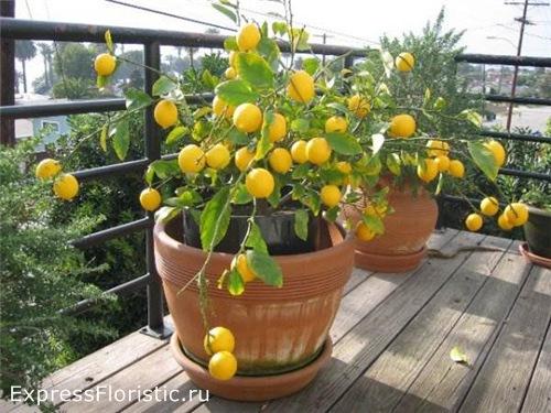 влияние домашних цветов лимон